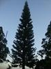 gk-pohon-cemara
